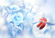Red dragonfly in the snow on blue roses in a fairy garden.